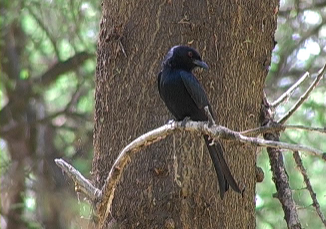 Savannedrongo (Common (Fork-tailed) Drongo)